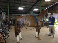 Harness fitting at Nutley Farm